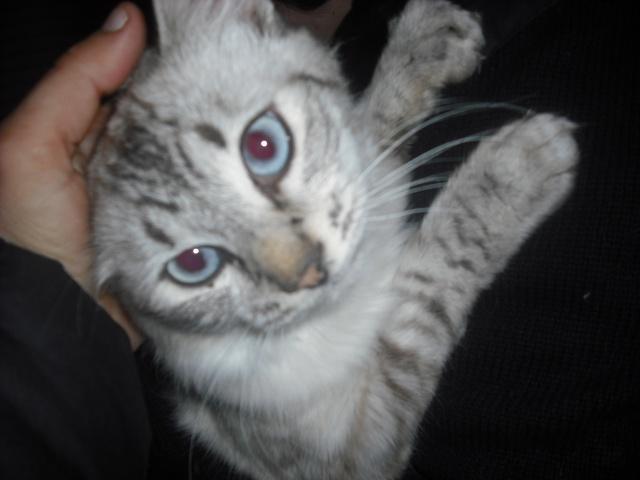 Chats gris aux yeux bleus - Yeux gris bleu ...